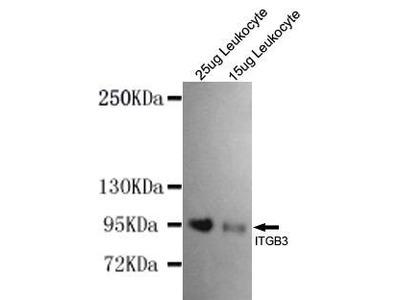 Mouse Anti-Integrin beta3 Antibody