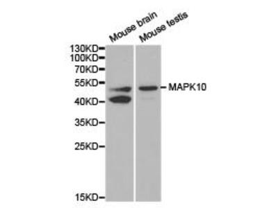 Rabbit Anti-JNK3 / MAPK10 Antibody
