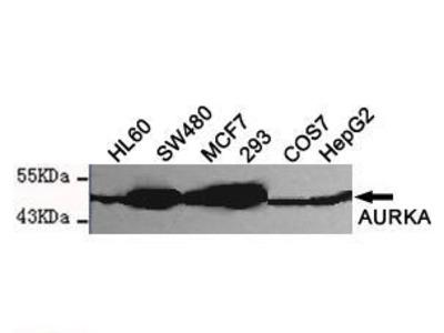 Mouse Anti-AURKA Antibody