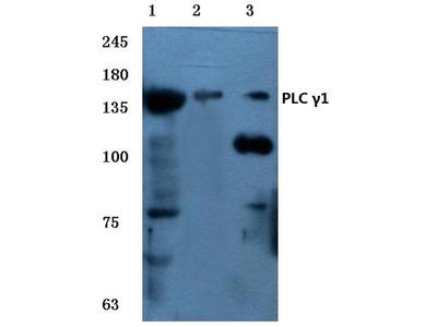 Rabbit Anti-PLC y1 Antibody