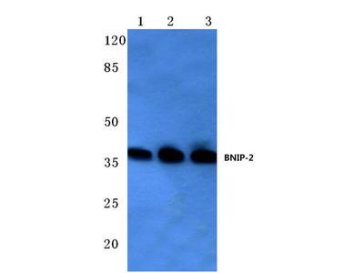 Rabbit Anti-BNIP-2 Antibody