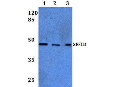 Rabbit Anti-SR-1D Antibody