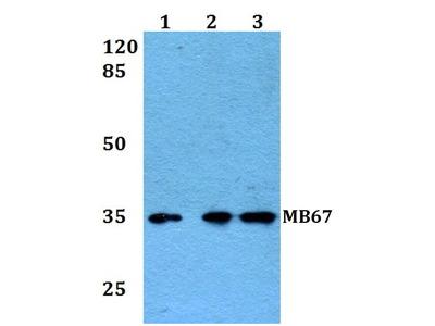 Rabbit Anti-MB67 Antibody