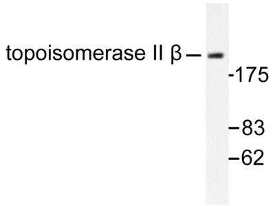Rabbit Anti-Topo II beta Antibody