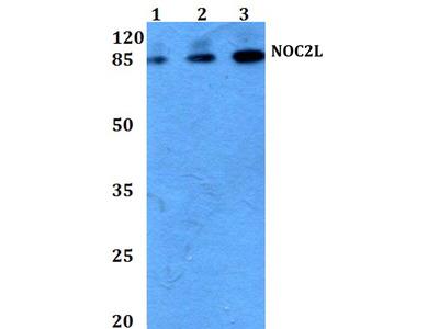 Rabbit Anti-NOC2L Antibody