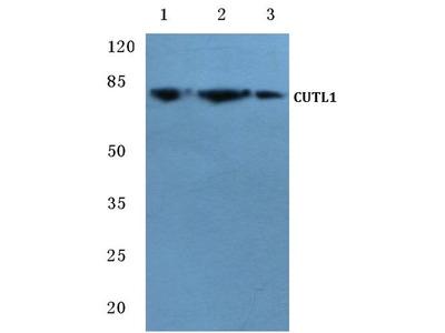 Rabbit Anti-CDP Antibody