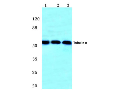Rabbit Anti-Tubulin alpha Antibody