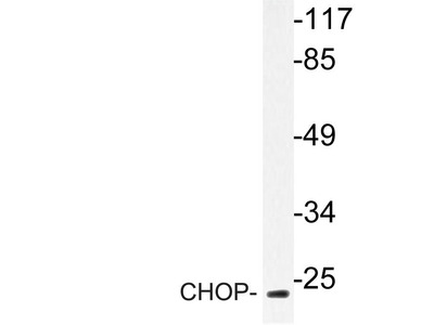Rabbit Anti-CHOP Antibody