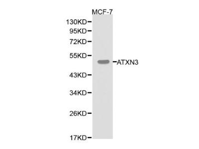 Rabbit Anti-ATXN3 Antibody