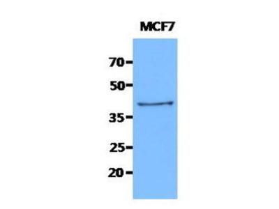 Mouse Anti-KRT19 Antibody