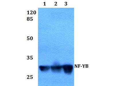 Rabbit Anti-NF-Y, Beta Antibody