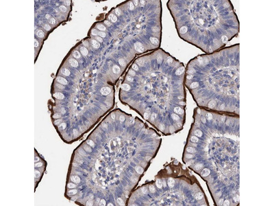 Anti-DLL4 Antibody