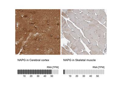 Anti-NAPG Antibody