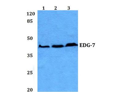 Rabbit Anti-EDG-7 Antibody