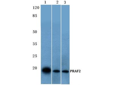 Rabbit Anti-PRAF2 Antibody