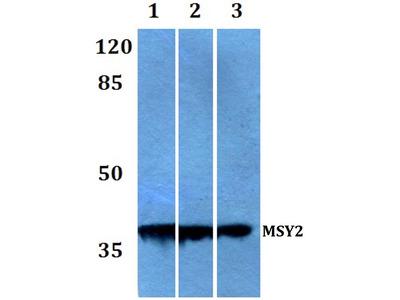 Rabbit Anti-MSY2 Antibody