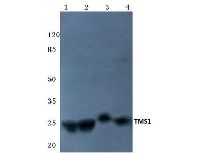 Rabbit Anti-TMS1 Antibody