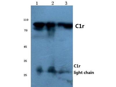 Rabbit Anti-C1r Antibody