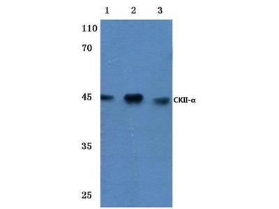 Rabbit Anti-Casein Kinase Antibody