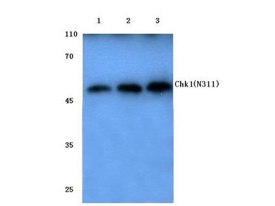 Rabbit Anti-Chk1 Antibody