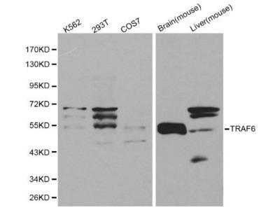 Rabbit Anti-TRAF6 Antibody
