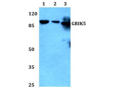 Rabbit Anti-GRIK5 Antibody