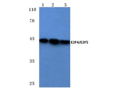 Rabbit Anti-E2F4/E2F5 Antibody