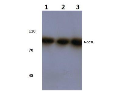 Rabbit Anti-NOC3L Antibody