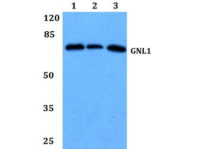 Rabbit Anti-GNL1 Antibody