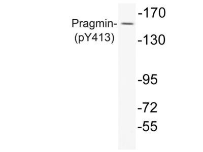 Rabbit Anti-Pragmin, phosphorylated Antibody