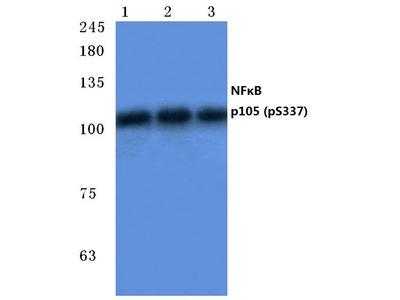 Rabbit Anti-NFκB-p105/p50, phosphorylated Antibody
