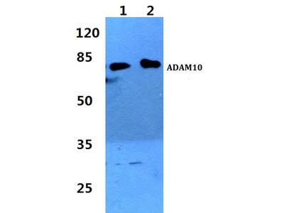 Rabbit Anti-ADAM10 Antibody