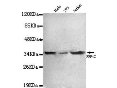 Mouse Anti-PPP4C Antibody