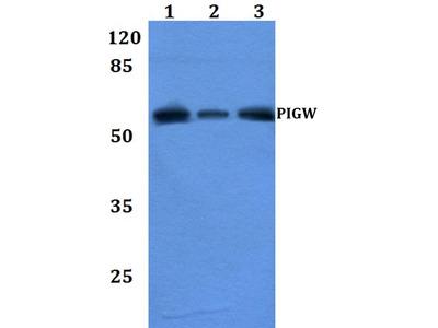 Rabbit Anti-PIGW Antibody