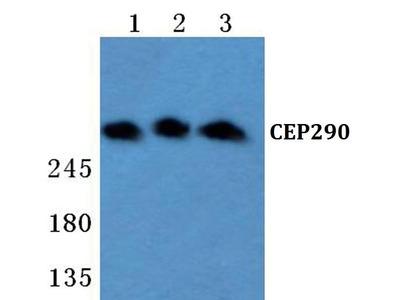 Rabbit Anti-CEP290 Antibody
