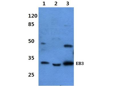 Rabbit Anti-EB3 Antibody