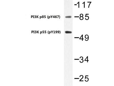 Rabbit Anti-PI3K p85/p55, phosphorylated Antibody
