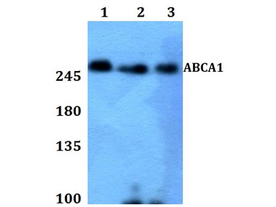 Rabbit Anti-ABCA1 Antibody