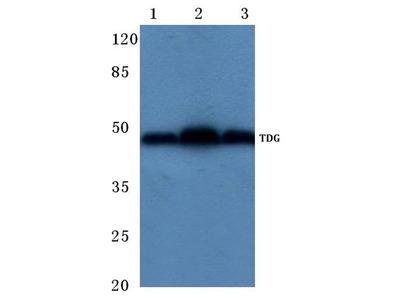Rabbit Anti-TDG Antibody