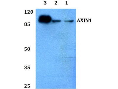 Rabbit Anti-AXIN1 Antibody
