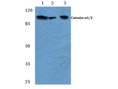 Rabbit Anti-Catenin-alpha1/2 Antibody