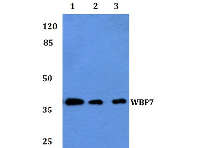 Rabbit Anti-WBP7 Antibody