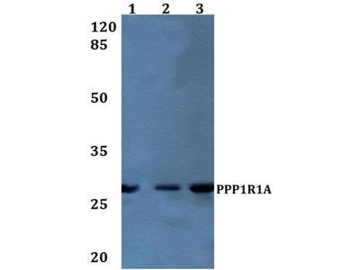 Rabbit Anti-PPP1R1A Antibody