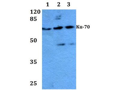 Rabbit Anti-Ku-70 Antibody