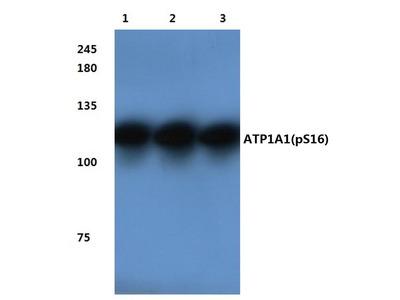 Rabbit Anti-Na+/K+-ATPase alpha1, phosphorylated Antibody