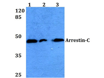 Rabbit Anti-Arrestin-C Antibody