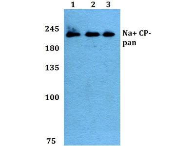 Rabbit Anti-Na+ CP Antibody