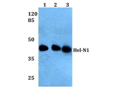 Rabbit Anti-Hel-N1 Antibody