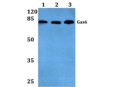 Rabbit Anti-Gas6 Antibody