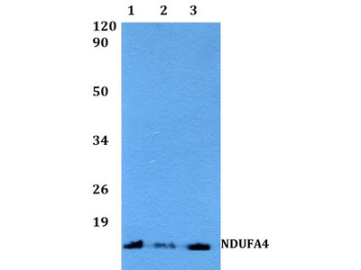 Rabbit Anti-NDUFA4 Antibody